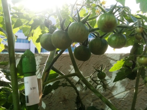 Tomato plants on the ATOM balcony