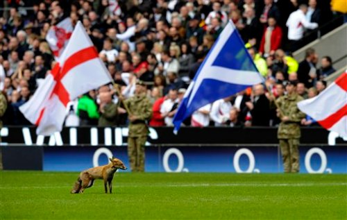 England Rugby Fox On Field