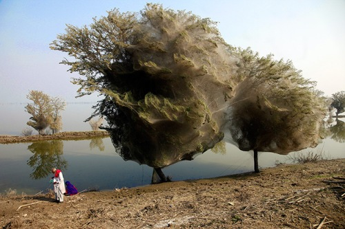 Spider trees in Pakistan